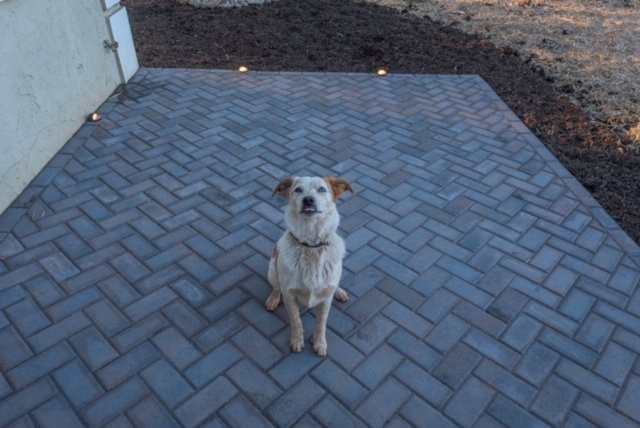 Hank on the Paver Patio